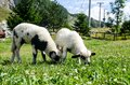 Two adorable lambs grazing in green meadow. Animals on the farm. Young sheep on green field. Lambs eating grass on pasture. Livest Royalty Free Stock Photo