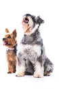 Two adorable obedient dogs a schnauzer and yorkshire terrier sitting side by side waiting patiently to be rewarded with a treat Royalty Free Stock Image