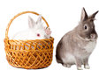 Two adorable pet rabbits side by side on a white background with an alert grey rabbit sitting up and a white one sitting in a Stock Photography