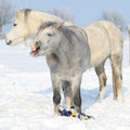 Two adorable ponnies in winter standing sunny Stock Image