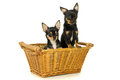Two adult dogs chihuahua dog sitting Royalty Free Stock Images
