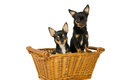 Two adult dogs chihuahua isolated on white background Stock Image