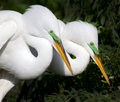 Two adult white egrets rest after mating in bright green breeding colors Royalty Free Stock Images