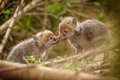 Two affectionate young fox cubs showing affection near the den Royalty Free Stock Photography