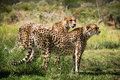 Two african cheetahs Royalty Free Stock Photo