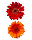 Two african daisies isolated on white background Royalty Free Stock Photos