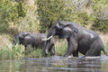 Two African elephants emerge from the water of the Nile to the s