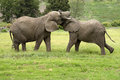 Two African elephants fighting South Africa Royalty Free Stock Photo