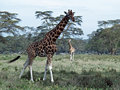 Two african giraffes Royalty Free Stock Images