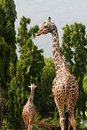 Two african origin giraffe in a forest Royalty Free Stock Photography