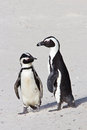 Two African penguins Stock Photos