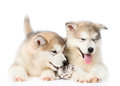 Two Alaskan malamute puppies lying with kitten together. isolated on white Royalty Free Stock Photo