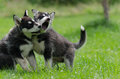 Two alaskan malamute puppy siblings Stock Image