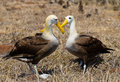 Two albatross sitting on the ground. The Galapagos Islands. Birds. Ecuador. Royalty Free Stock Photo