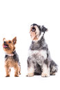 Two alert dogs waiting for treats a small yorkshire terrier and schnauzer staring beseechiongly up into the air at their owner Royalty Free Stock Photo