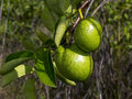 Two alligator apples hanging on a tree branch green annona glabra Royalty Free Stock Photography