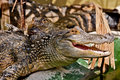 Two alligators laying together Stock Photos