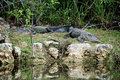 Two alligators at rest on riverbank large black are resting the in the everglades of florida Royalty Free Stock Photos