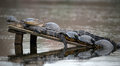 Two Alligators with Turtles Sunning Royalty Free Stock Photo