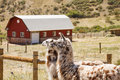 Two Alpacas with Red Barn in Background Stock Photography