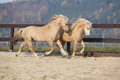 Two amazing stallions playing together Royalty Free Stock Photo