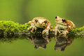 Two Amazon milk frogs Royalty Free Stock Photo