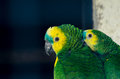 Two amazon parrots a pair of in the zoo Stock Photo