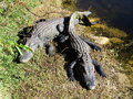 Two american alligators getting sun bath in florida Stock Image