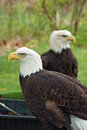 Two American Bald Eagles Royalty Free Stock Photo
