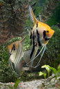 Two Angelfish Royalty Free Stock Image
