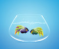 Two Angelfish in fishbowl falling in love Royalty Free Stock Photo