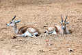 Two antelopes lie on the sand Stock Photo