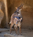 Two antelopes stand and stick out their tongues Royalty Free Stock Photography