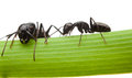 Two ants on grass blade macro en face and side view of black isolated white Royalty Free Stock Photography