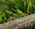 Two ants meet in the forest red green Stock Image