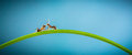 Two ants running around the curved green blade of grass on a blue background Royalty Free Stock Photos