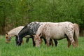 Two appaloosa ponies grooming on the meadow in summer Royalty Free Stock Image