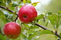 Two apples Royalty Free Stock Photo
