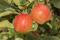 Two apples mellow orange red at an apple tree Royalty Free Stock Photos