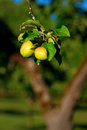 Two apples on tree close up of in orchard Royalty Free Stock Image
