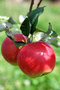 Two apples on a young tree Royalty Free Stock Photo