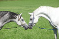 Two arabian stallions with show halters sniffing to each other Stock Photo
