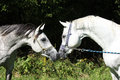 Two arabian stallions with show halters sniffing to each other Royalty Free Stock Photos