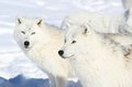 Two arctics wolves Stock Image
