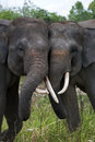 Two Asian elephants playing with each other. Indonesia. Sumatra. Way Kambas National Park. Royalty Free Stock Photo