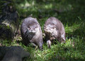 Two Asian Short Clawed Otters Royalty Free Stock Photo