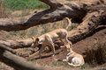 Two australian dingoes light colored at a zoo species canis lupus dingo Stock Image