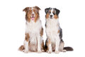 Two Australian Shepherd dogs Royalty Free Stock Photo