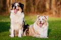 Two australian shepherd dogs in sunset light portrait outdoors Royalty Free Stock Photography
