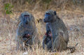 Two baboons with infants holding sitting at kruger national park south africa Stock Image